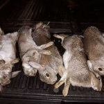 English Game for sale by Olde-English Pest Control in Ashford Kent SouthEast