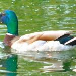 Olde English Pest Control- english Duck game birds and game meat for sale in Ashford, Kent, Sussex, Essex