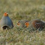 Olde English Pest Control- english Partridge game birds and game meat for sale in Ashford, Kent, Sussex, Essex