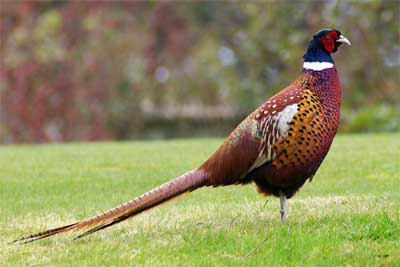 Olde English Pest Control- english pheasant game birds and game meat for sale in Ashford, Kent, Sussex, Essex