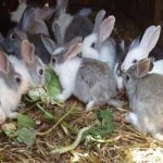 Tuition classes in keeping rabbits by Olde English Pest Control from Kent and the South East