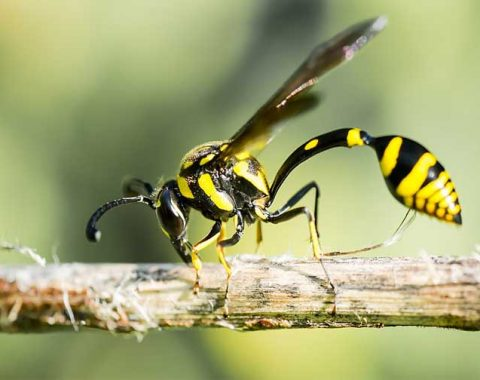 Yellow Jacket Wasps