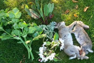 Fresh Wild Rabbit Game for Sale from Olde English Pest Control