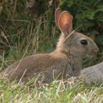 Rabbit and Mole Control Consultancy provided by Olde English Pest Control, Kent, South East