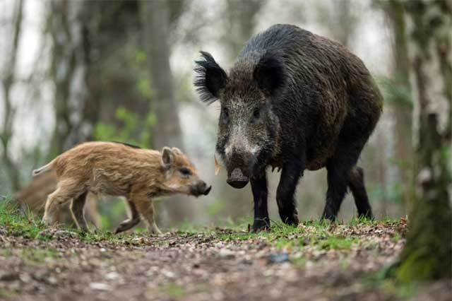 Wild Boar Control in Kent by Olde English Pest Control